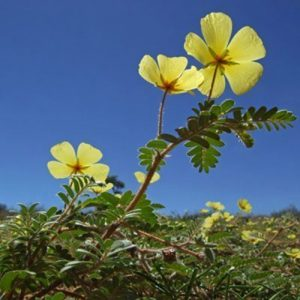 Tribulus terrestris, also called caltrop or puncturevine, is found in tropical and subtropical countries