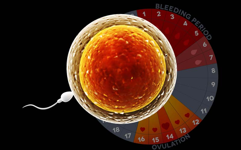 How to Promote Regular Ovulation for Optimal Fertility ...
