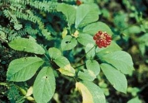 Herbs That Support Male Fertility, American Ginseng
