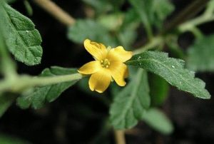 Herbs That Support Male Fertility, damiana