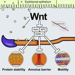 Male Fertility Regulation Through Wnt Signaling