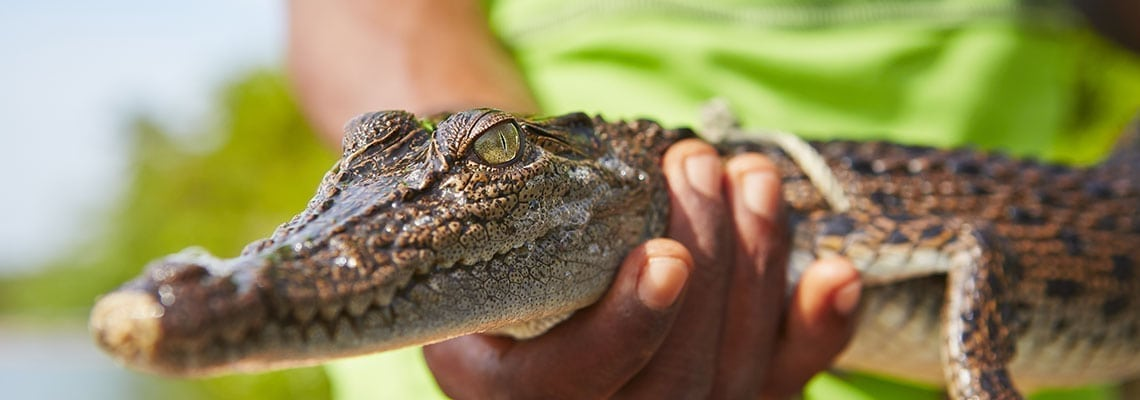 Crocodile Sperm and its Significance for Male Fertility 1