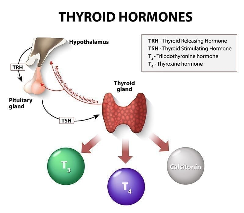 The Connection Between the Thyroid and Female Infertility