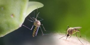 Zika-Virus: Studie an Mäusen zeigt verheerende Auswirkungen auf die männliche Fruchtbarkeit