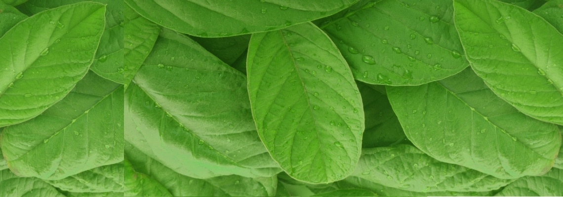 Guava Leaves and Fertility